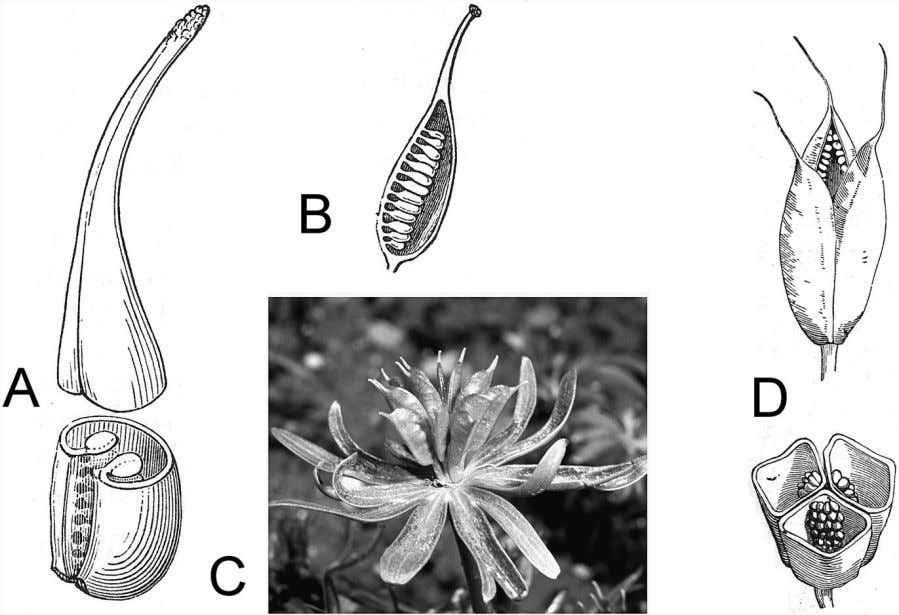 from Brown 1935 (A, B) and Mauseth 2014 (C). Figure 6.5 A follicle (A, B) is