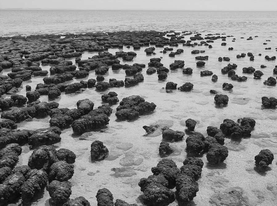 Figure 1.1 Modern stromatolites like these in Shark Bay, Western Australia, are composed of alternating