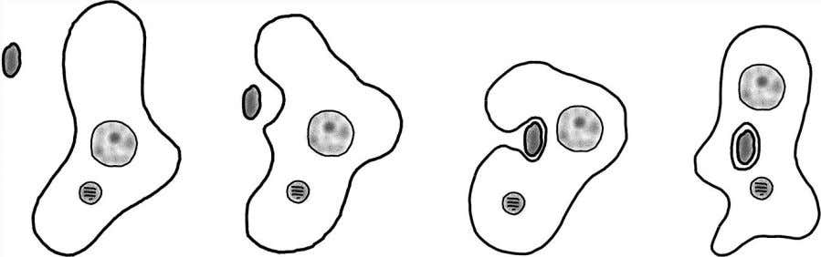 large sophisticated cells had gotten into the business of Figure 2.3 Amoeboid cells change shape by
