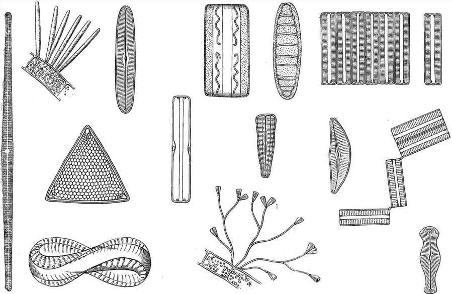 Eukaryotic Plant Life 27 Figure 2.8 Diatom cells are enclosed in fitted glass shells resembling shoe
