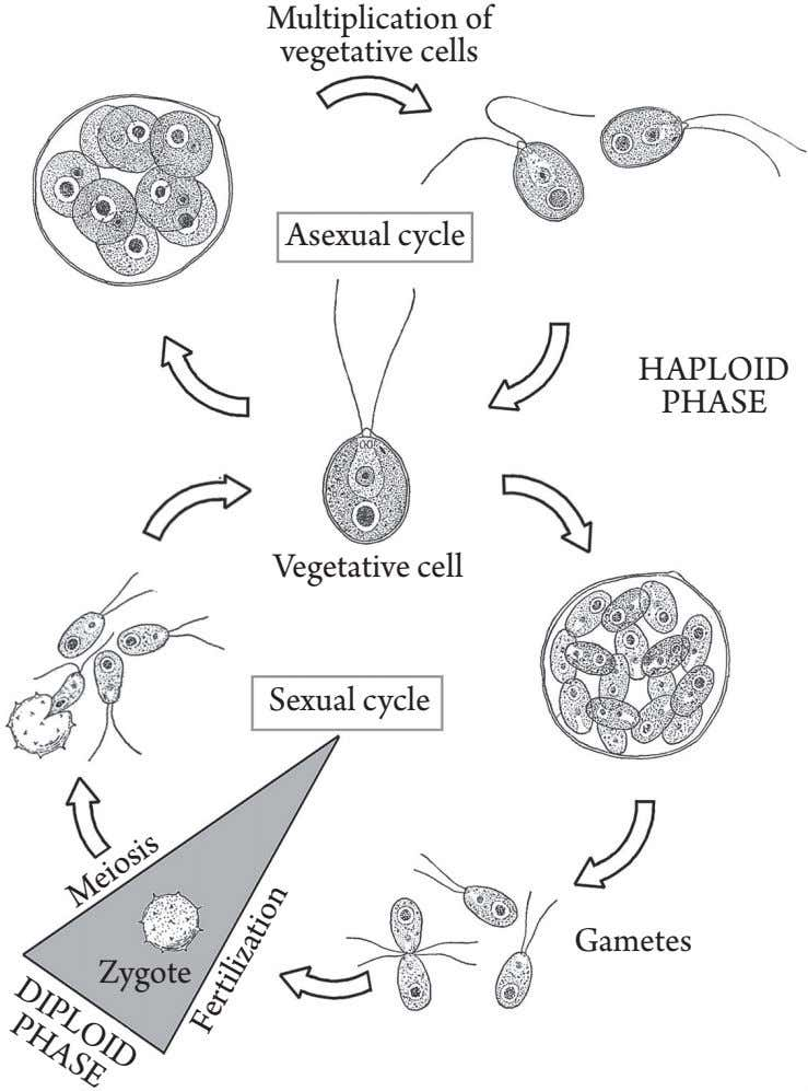 Multiplication of vegetative cells Asexual cycle HAPLOID PHASE Vegetative cell Sexual cycle Gametes Zygote