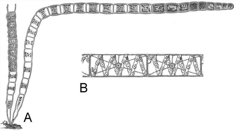 1953 (A, B), Brown 1935 (C), and Oltmanns 1905 (D and E). Figure 2.20 A. Ulothrix
