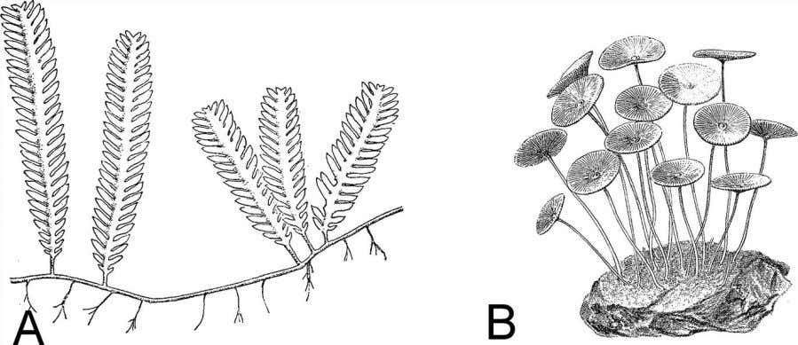 of much smaller cells. Drawing from Haupt 1953. Figure 2.21 Figure 2.22 A. Caulerpa crassifolia is