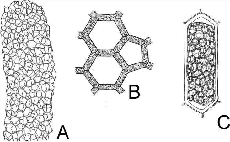 Figure 2.23 A mature colony of Hydrodictyon (A) consists a saclike network of cells connected