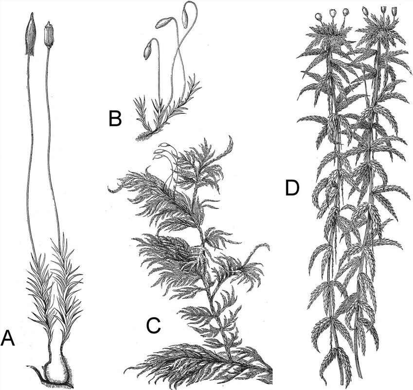 Figure 3.2 Mosses are quite varied in their form. Leafy stems are typically packed close