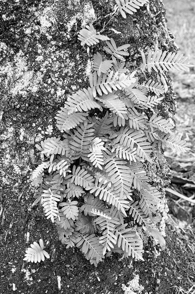Plants Invade the Land 57 Figure 3.7 The resurrection fern, Pleopeltis polypodioides , grows on tree