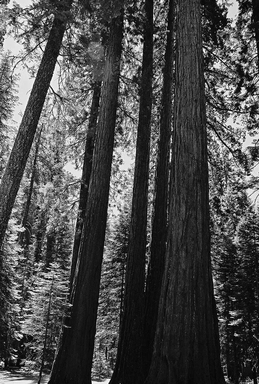 Figure 4.1 Sequoiadendron trees at maturity are the most massive living organisms on Earth. They