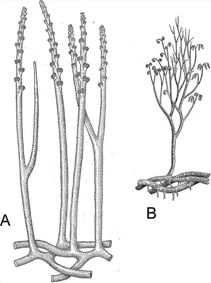 but also different kinds of leaves and growth forms. Figure 4.3 In Zosterophyllum (A), sporangia were