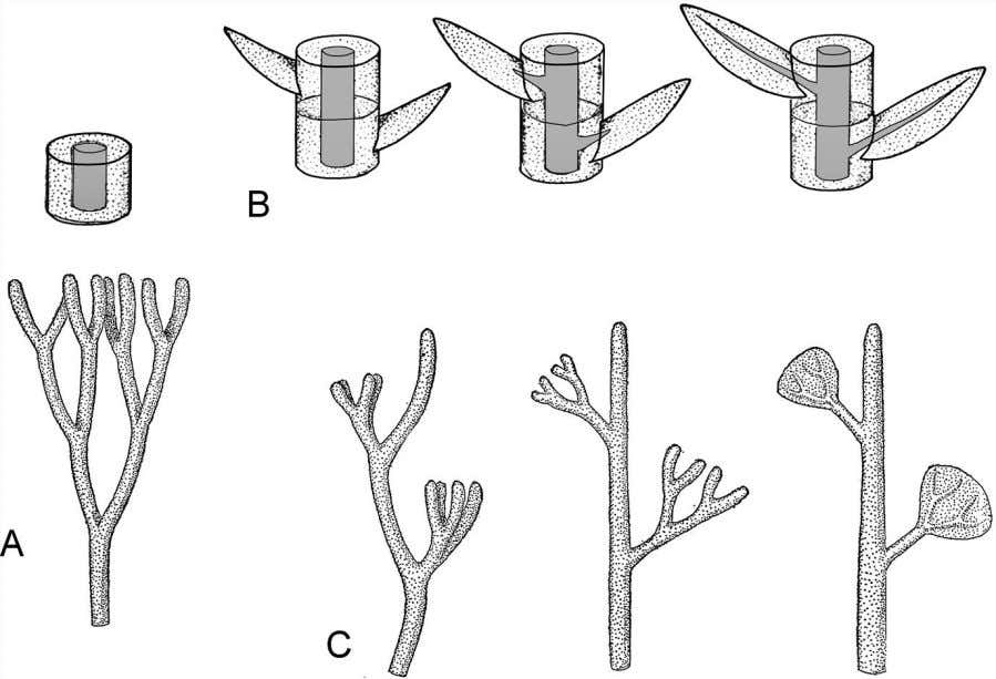 Vascular Plants and the R ise of Trees 79 Figure 4.5 From the original leafless common