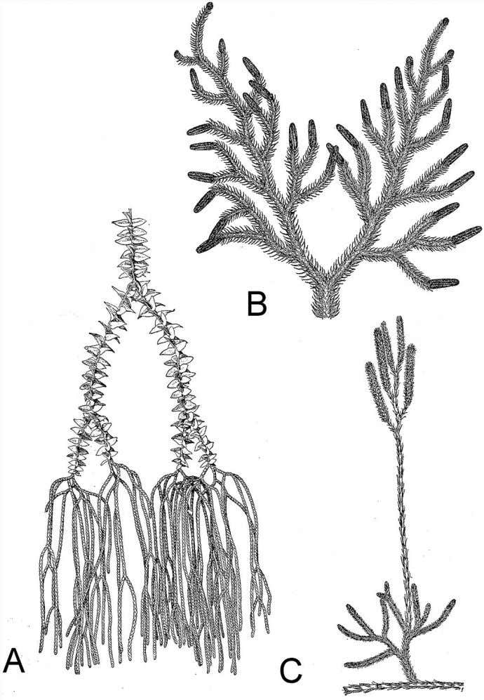 80 Plant Life Figure 4.6 Club mosses have short, simple leaves called microphylls, and sporangia that