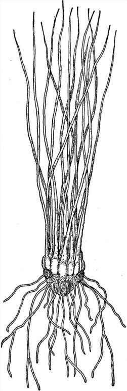 Vascular Plants and the R ise of Trees 81 Figure 4.7 Isoetes has very long microphylls