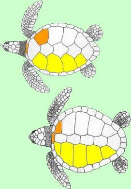 not touch nuchael Two pairs One pair prefrontal scales Sea turtle figures used by permission of