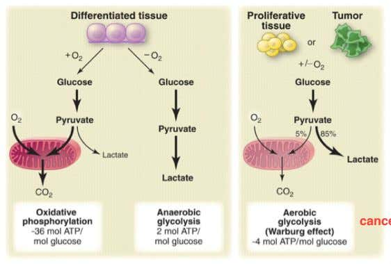 Metabolism in Cancer: Warburg Effect Cancer cells produce energy by a high rate of glycolysis followed