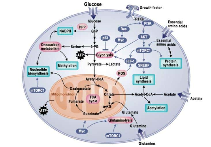 Signalling pathways that regulate Cancer Metabolism DeBerardinis and Chandel Sci. Adv. 2016; 2 : e1600200