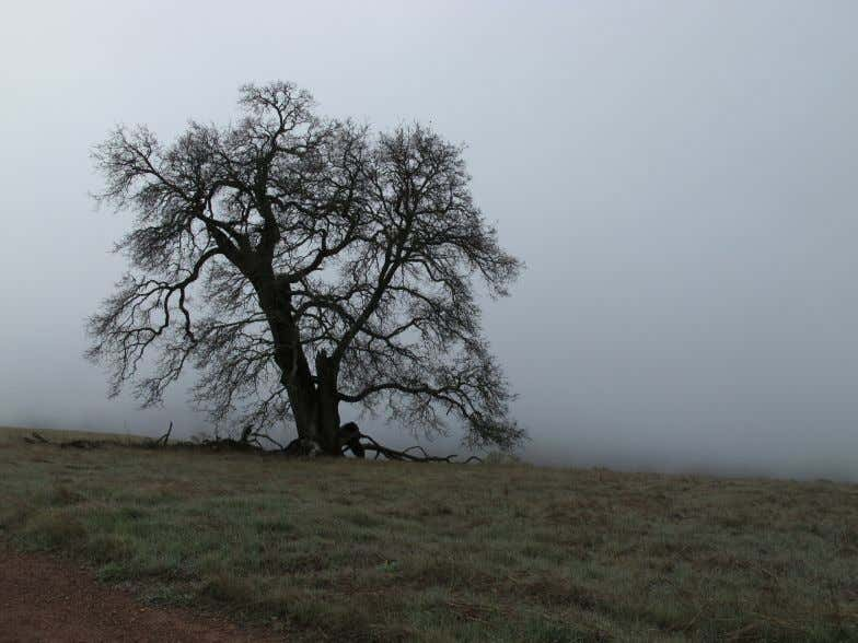 Emily Strauss Oak in Fog 34