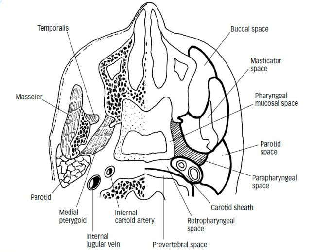 e r a t u r e Chapter 1: Anatomy of the Oral Cavity Figure 4: