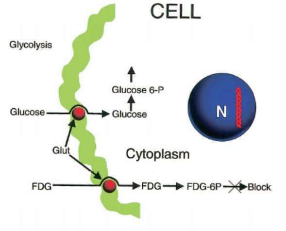 factors, by tumor hypoxia and blood glucose level (119). Figure 18: Mechanism of FDG uptake Normal