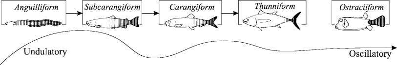 : REVIEW OF FISH SWIMMING MODES FOR AQUATIC LOCOMOTION 241 (a) (b) Fig. 5. Swimming modes