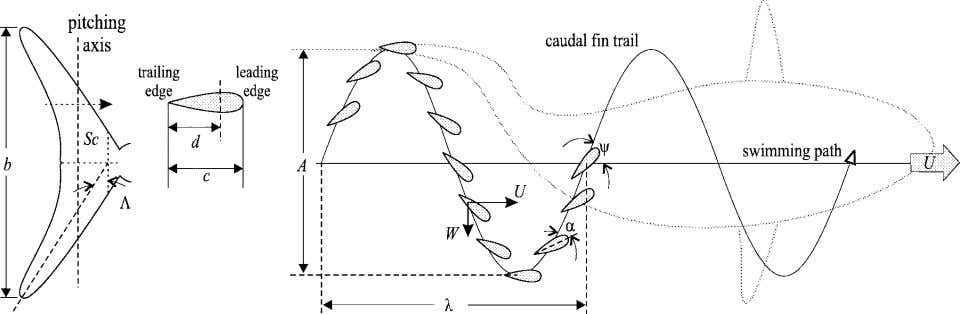 : REVIEW OF FISH SWIMMING MODES FOR AQUATIC LOCOMOTION 245 (a) Lateral view of caudal fin