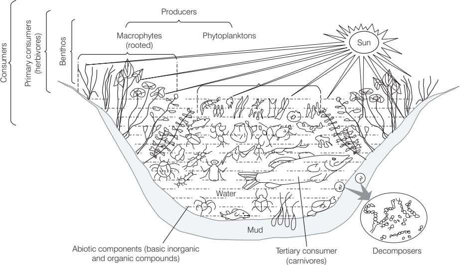 Producers Macrophytes Phytoplanktons Sun (rooted) Water Mud Abiotic components (basic inorganic and organic