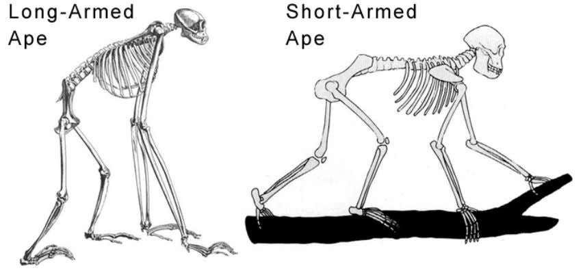 longer than their legs to move on the ground in comfort. Short-armed apes are a my