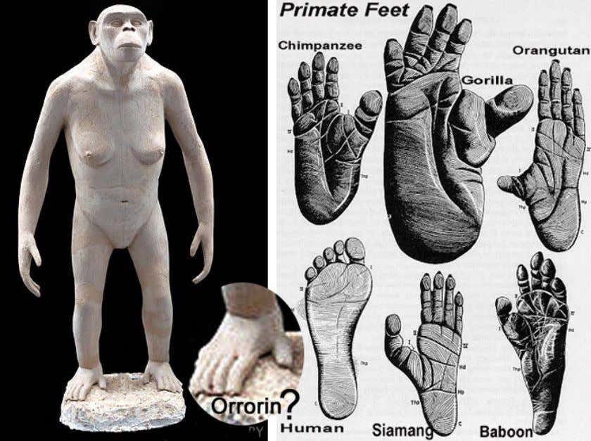 to show for certain that it had an opposed big toe. In the depiction above, notice