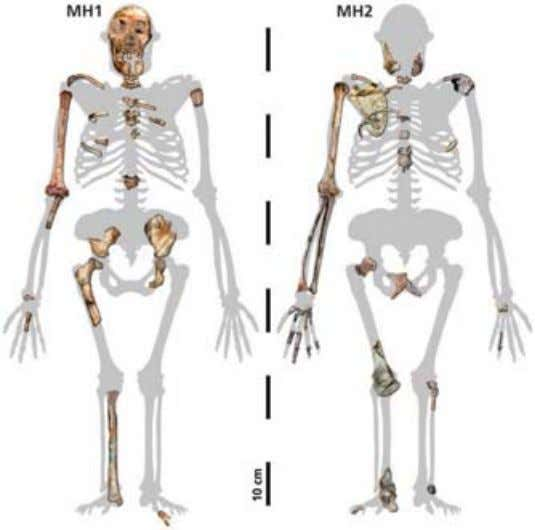 species between the Australopithecines and the Homos . The images above repres ent a male child