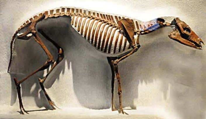 living from 55 to 35 mya. Below is its full skeleton. The mainstream concocts hooves that