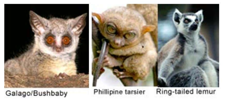 in the Eocene, but only three have survived to modern times. They are the galago/bushbabies, tarsiers,
