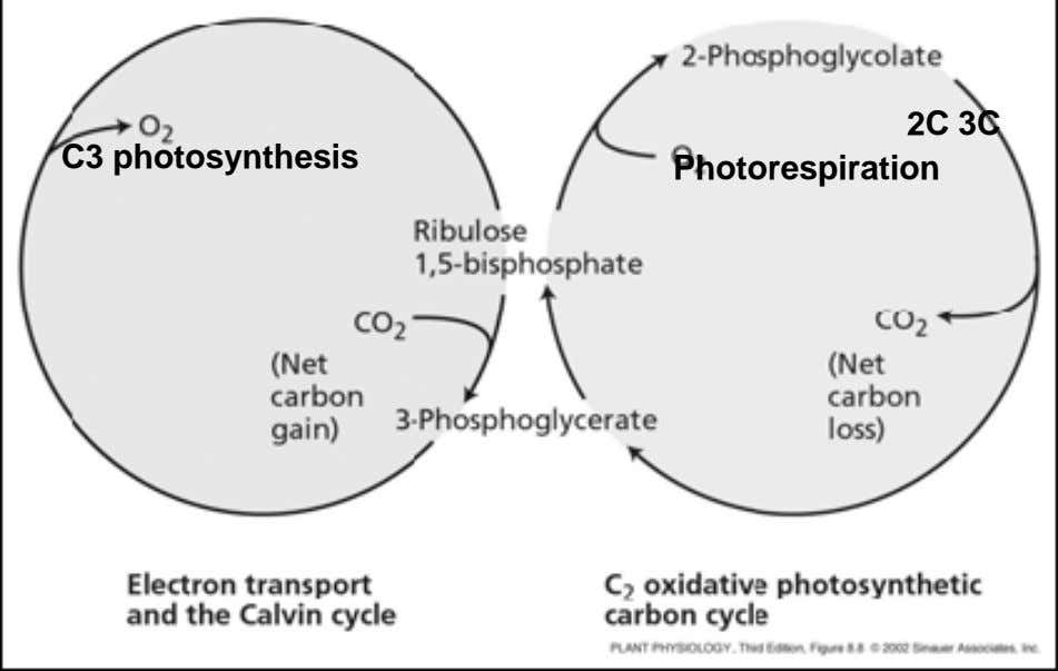 2C 3C C3 photosynthesis Photorespiration