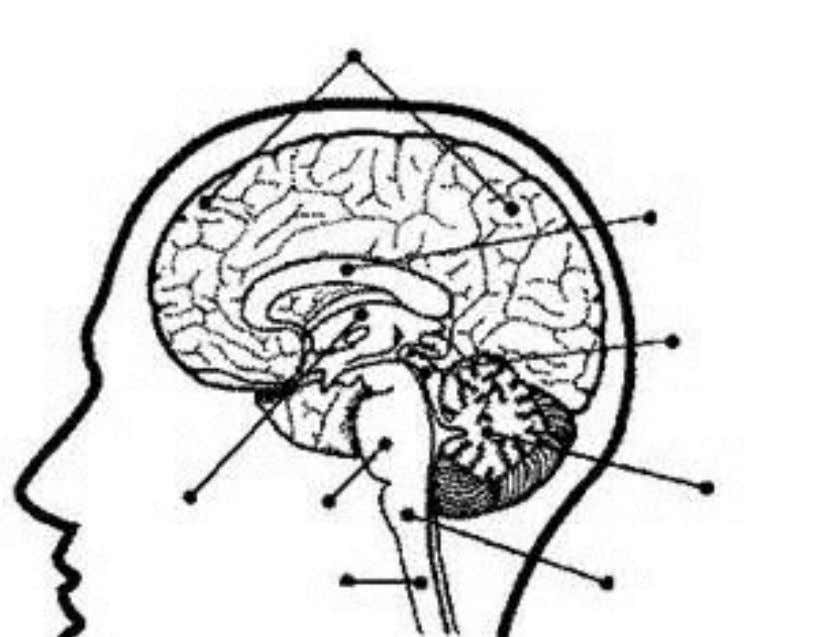 Label the Parts of the Brain (8 points)
