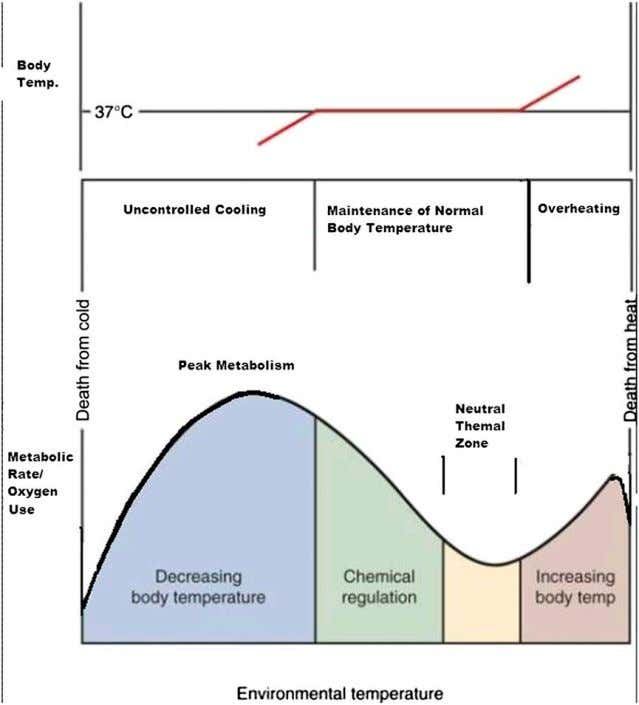 core concepts Figure 1. Neutral thermal environment: effects of heat and cooling on metabolic rate and