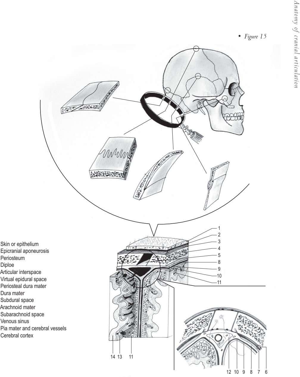 • Figure 15 Anatomy of cranial articulation 1 2 3 Skin or epithelium 4 Epicranial