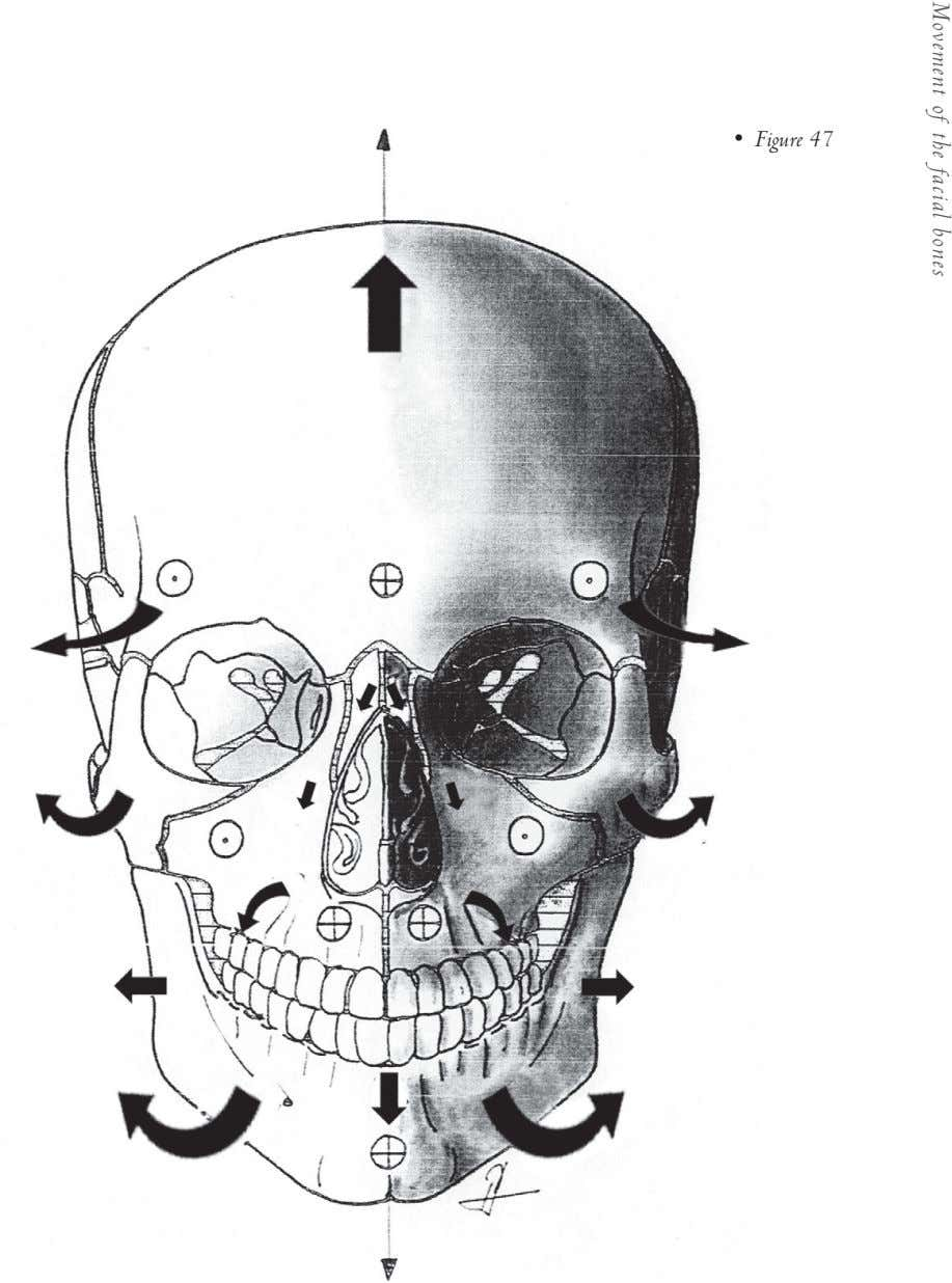• Figure 47 Movement of the facial bones
