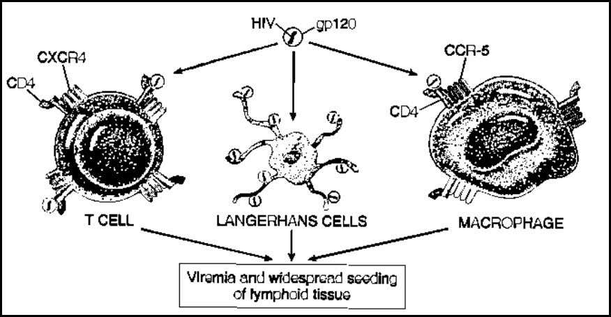 and the epidermal Langerhans cells present in the skin. Figure 2. Target cells of HIV (From;