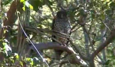 """whoo hoo"" - rather than screeching like a barn owl. Powerful Owl From March to April,"
