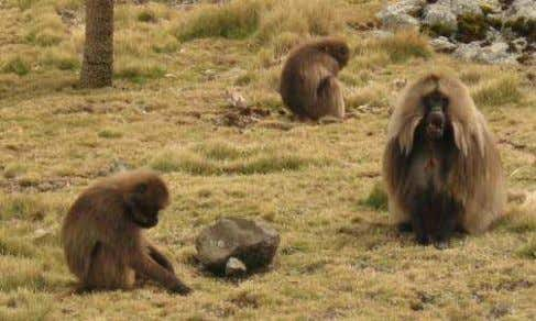 stayed the night at Geech Camp at a height of 3,600 metres. Gelada Baboons The next
