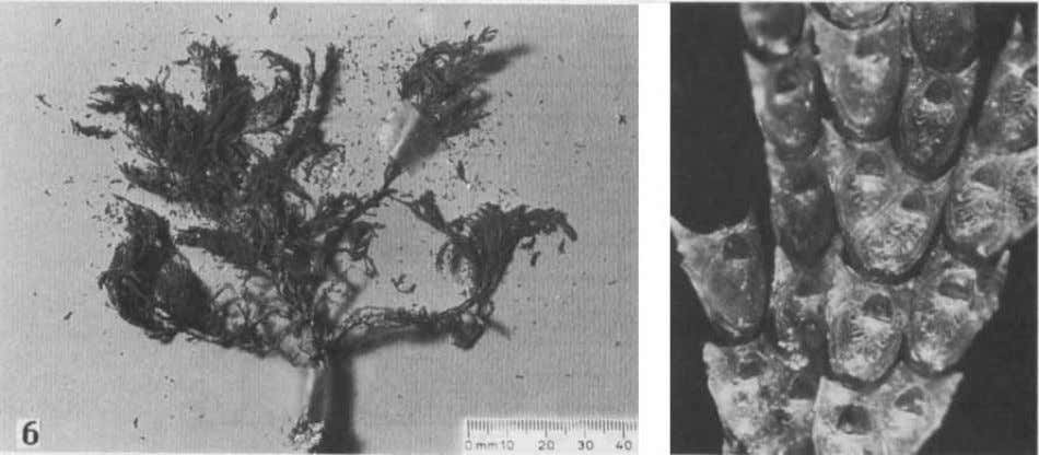 to branched segments of robust branching adeoniforms, large, Fig. 8. Sample of a catenecellid cheilostome bryozoa