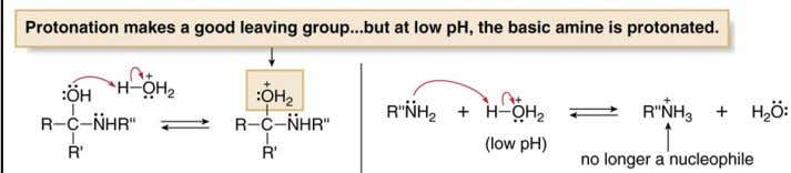 protonated. With no free electron pair, it is no longer a nucleophile, and so nucleophilic addition