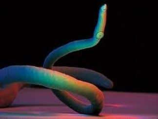 Schistosomiasis  Schistosoma japonicum is an important parasite and one of the major infectious agents of