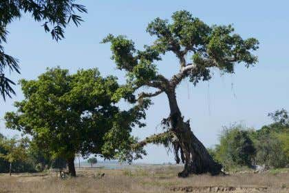 There is one old and gnarled tree that marked a corner of the former compound according