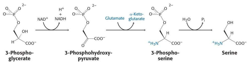 2.5 Serine and Glycine Oxidation of 3–phosphoglycerate 20