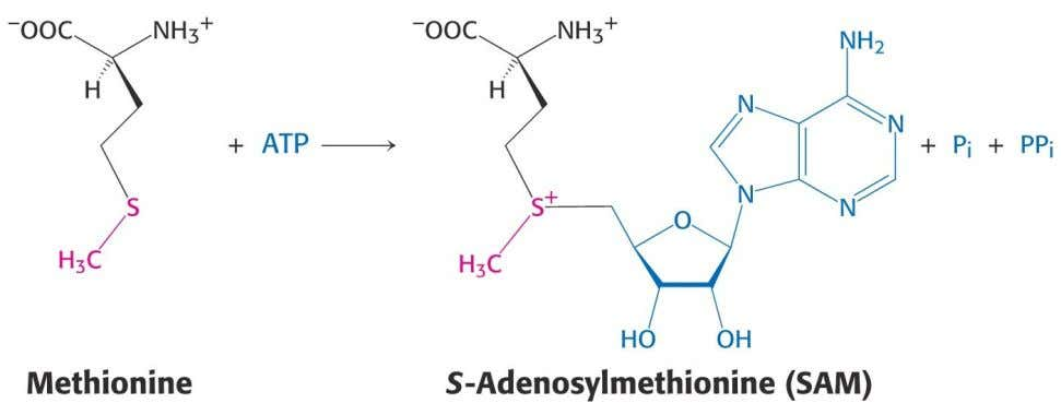 2.7 S-Adenosylmethionine (SAM) Tetrahydrofolate does not have sufficient methyl transfer potential for many biosynthetic methylation reactions