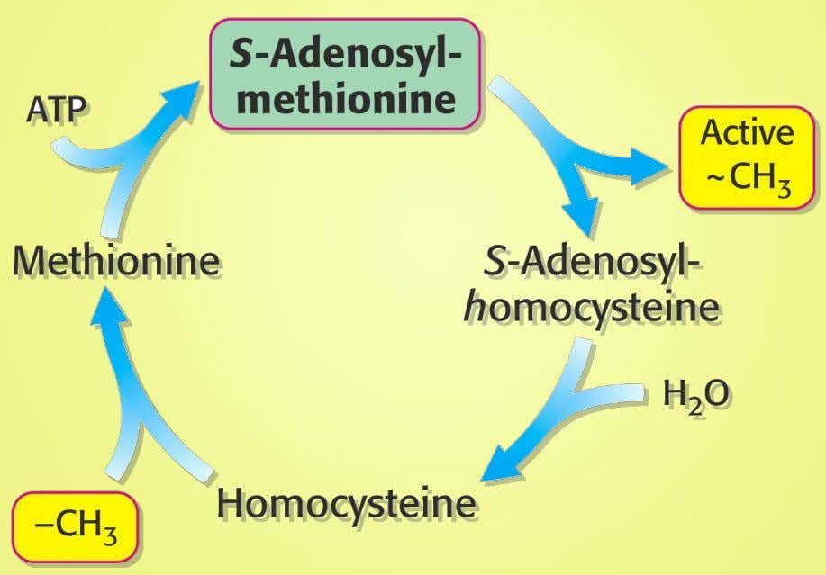 2.7 Activated Methyl Cycle 27