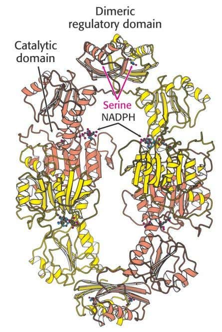 3. Regulation of Amino Acid Biosynthesis Example: Serine biosynthesis 3–Phosphoglycerate dehydrogenase 38