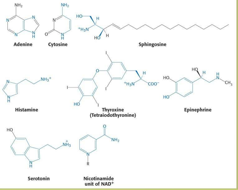 4. Amino Acid Derivatives Amino acids are precursors for many biomolecul es 47