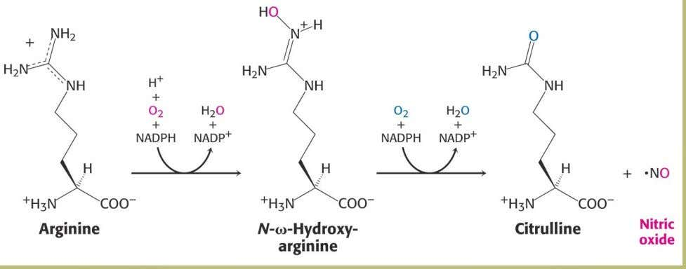 4.2 Nitric Oxide Nitric oxide is a short-lived signal molecule. Formed from arginine 49