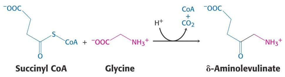 4.3 Porphyrins Porphyrins are synthesized from glycine an succinyl coenzyme A 50