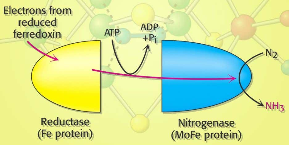 1. Nitrogen Fixation Enzyme has both a reductase and a nitrogenase activity. 6