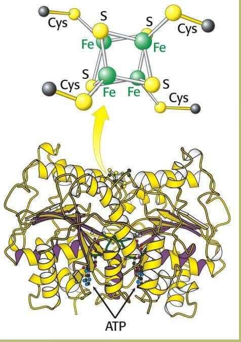 1.1 The Reductase (Fe protein) Contains a 4Fe-4S center 7 Hydrolysis of ATP causes a conformational